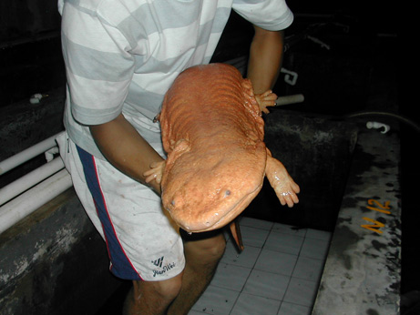 Chinese Giant Salamander held by man.