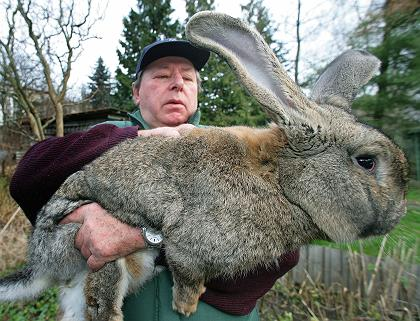 Extremes The Grey German Giant Rabbit 171 Creepy Animals