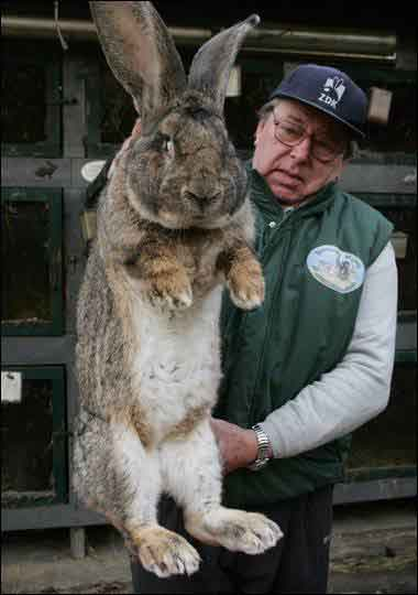 extremes the grey german giant rabbit creepy animals