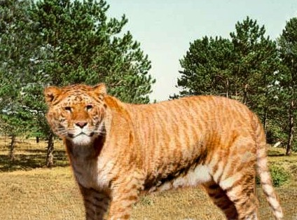 Liger is a lion and tiger hybrid.