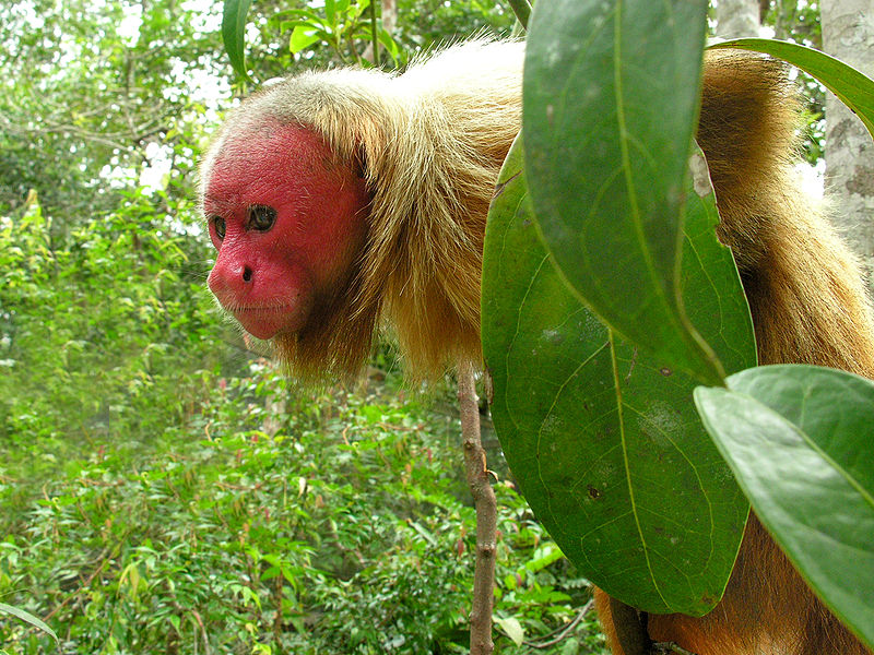 Bald Uakari with red face.