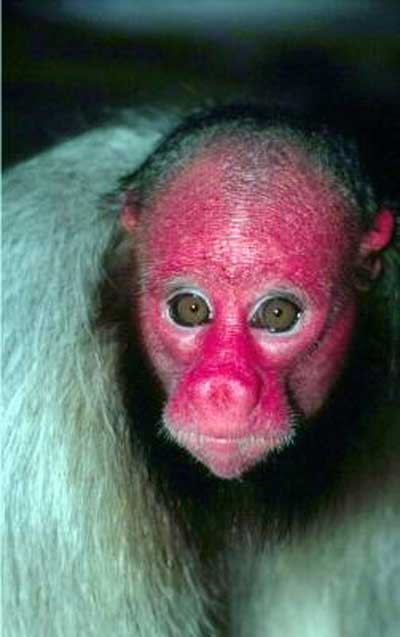 Bald Uakari monkey.