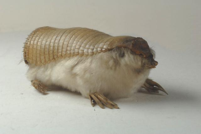 http://creepyanimals.com/wordpress/wp-content/uploads/2009/11/pinkfairy-armadillo.jpg