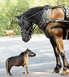 Smallest horse in the world.