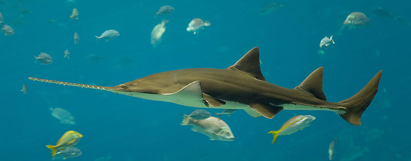 Sawshark swimming.