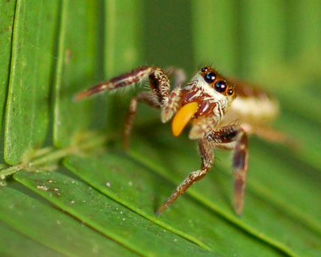 Vegetarian spider with many eyes.
