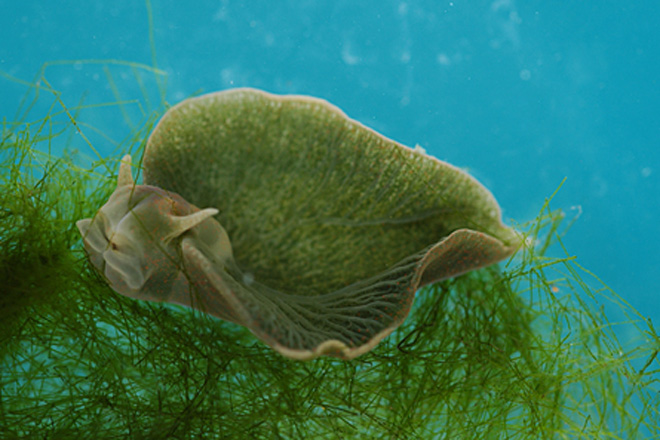 Green sea slug underwater.