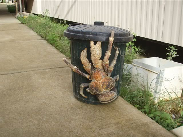 Coconut crab on garbage.