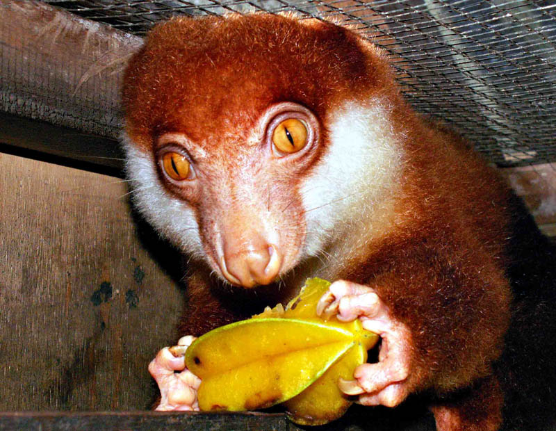 Cuscus eating.