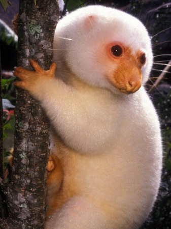 White Cuscus on tree.