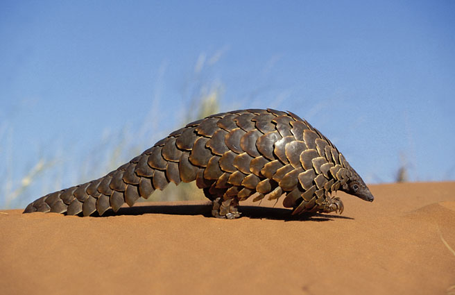 Pangolin in desert.