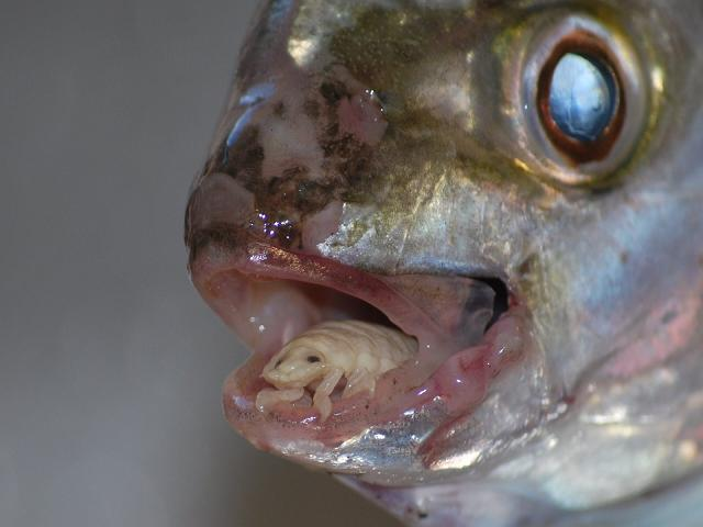 Parasite on fish tongue.