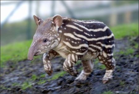 Baby Tapir.