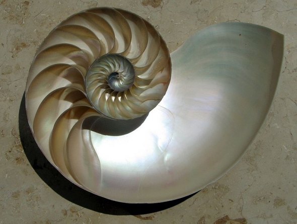 Nautilus Shell with chambers.