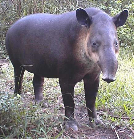 Tapir.