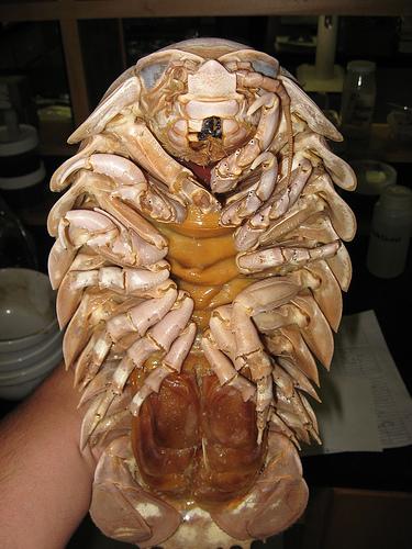 Giant Isopod legs.