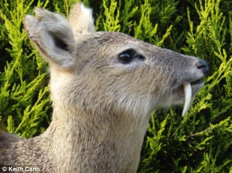 Chinese Water Deer with fangs.