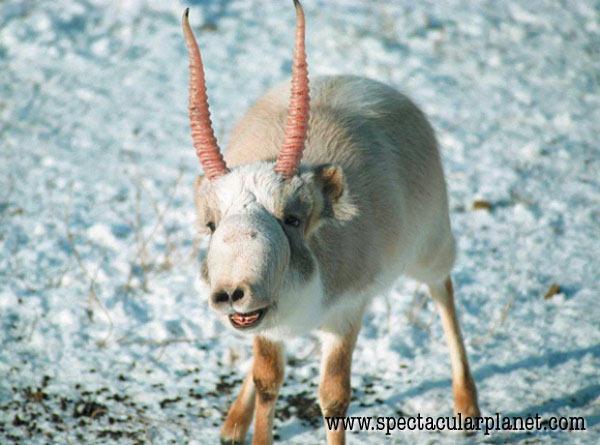 Saiga antelope nose.