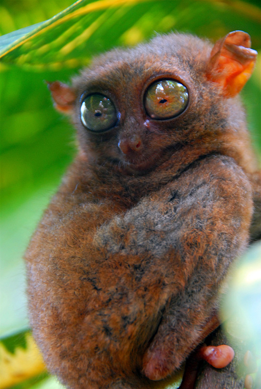 Tarsier looking backwards.