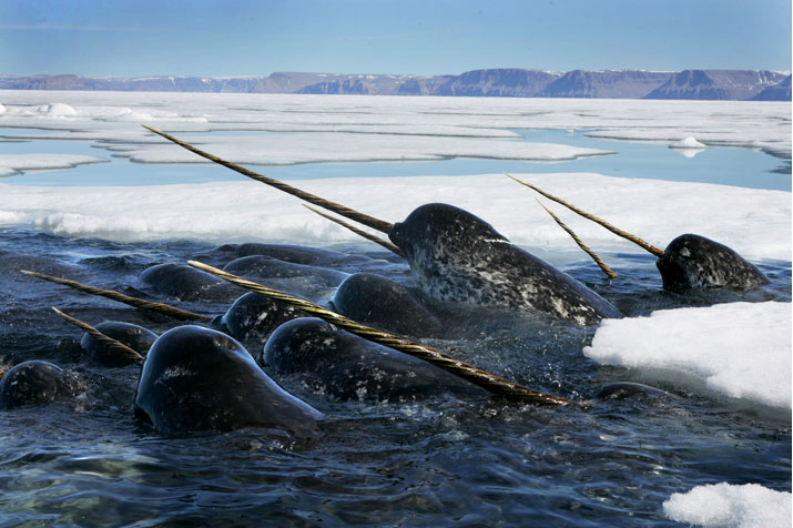 Narwhals swimming.