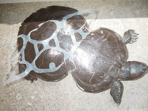 Turtle shell constricted by plastic soda can rings.