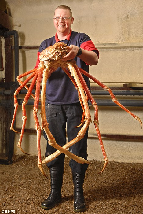 Man holding largest Spider Crab in the world.