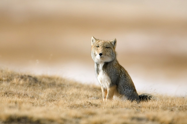 Tibetan fox sitting on tibetan plateau.