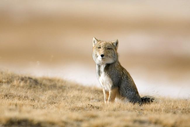 Tibetan fox sitting on tibetan plateau.