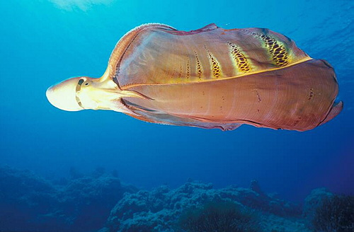 Blanket octopus swimming in the ocean.