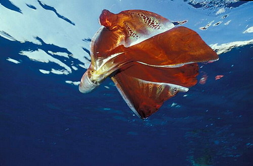 Blanket octopus underwater and upside down.