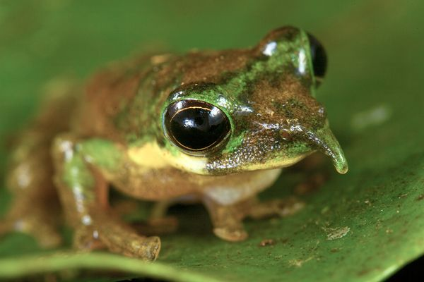 frog with long nose