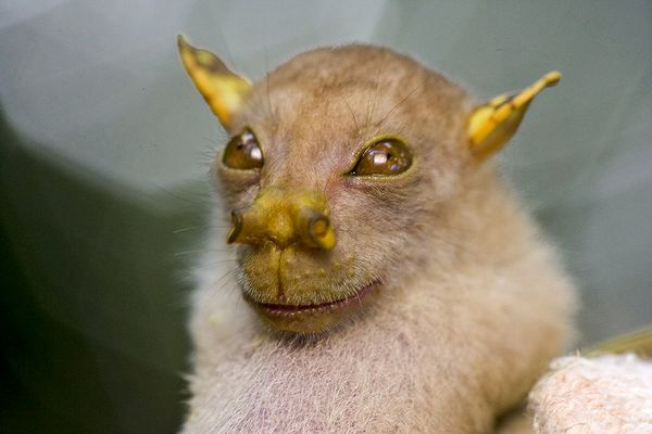 Yube-nosed bat looks like Yoda.