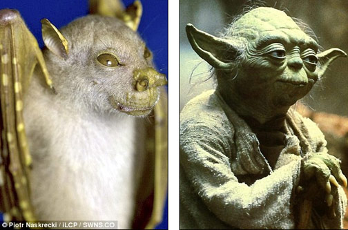 Tube-nosed bat versus Yoda.