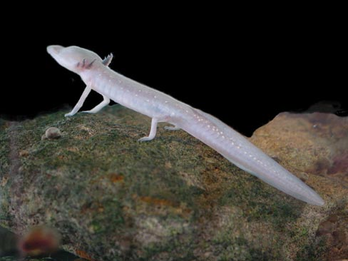 Texas Blind Salamander underwater.
