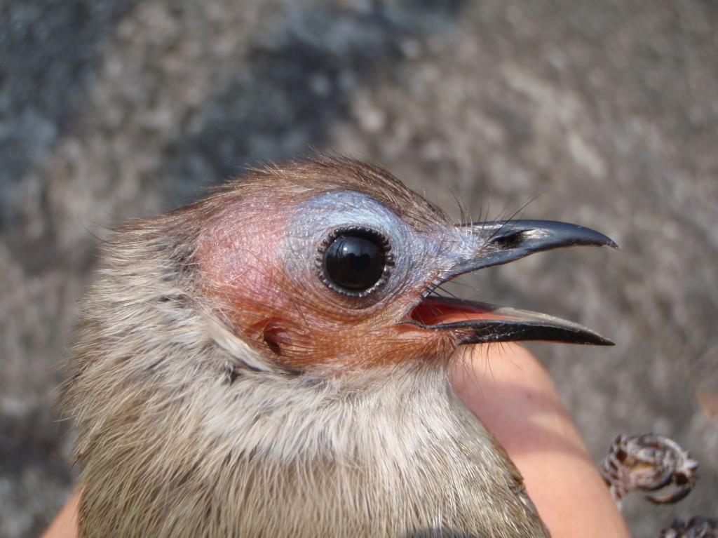 Bare-faced bulbul bird.