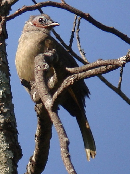 Bare-faced bulbul bird in tree.