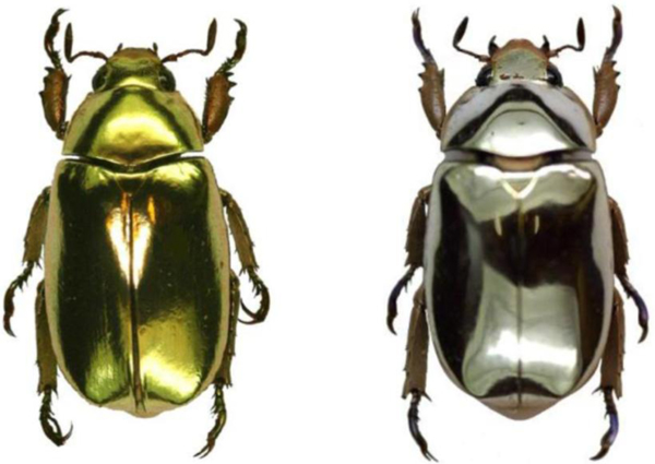 Super shiny gold and silver beetles