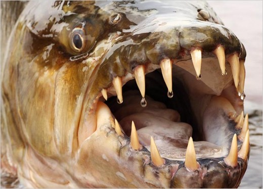 Goliath tiger fish with large teeth.