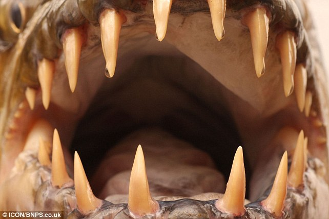 Goliath tiger fish mouth open with sharp teeth.