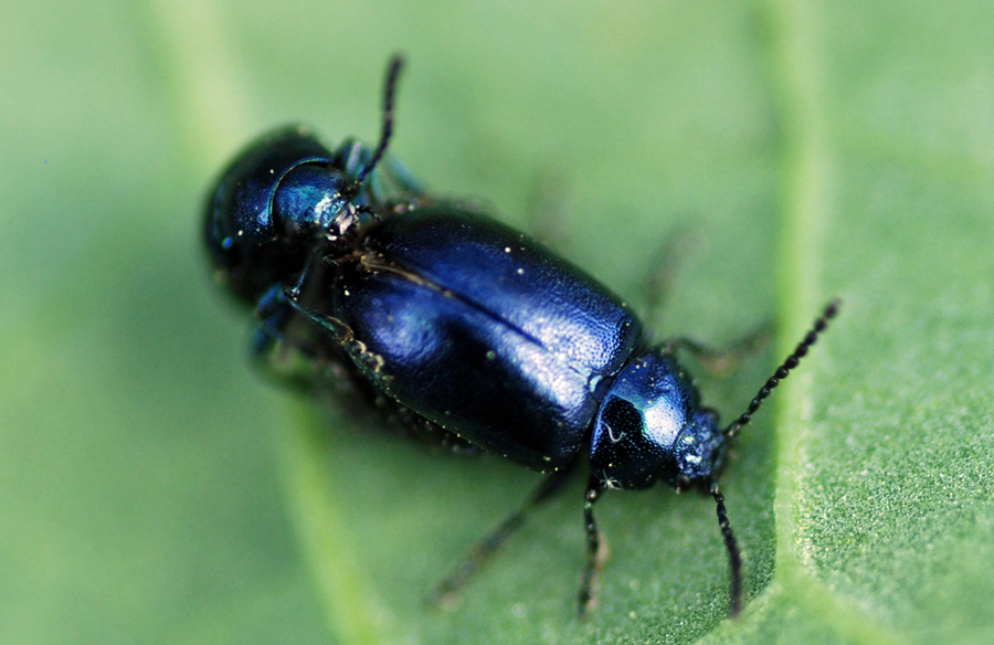 Shiny blue beetles on leaf.