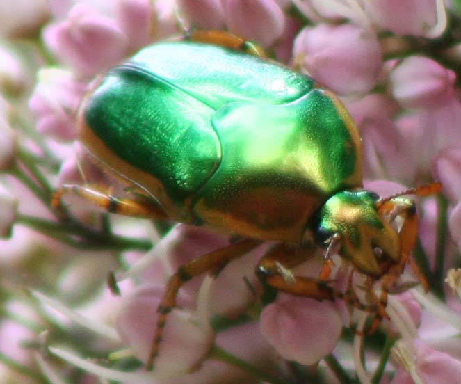 Green metallic scarab beetle on flowers.