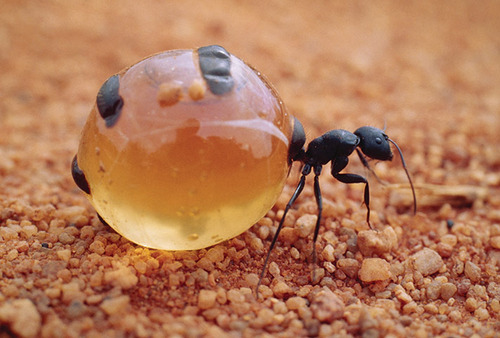 Honeypot Ant filled with liquid food.