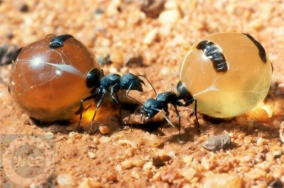 Two Honeypot Ants in habitat.
