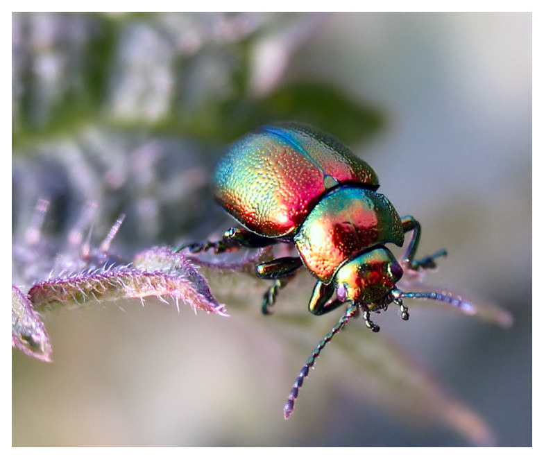 Iridescent metallic beetle on flower.