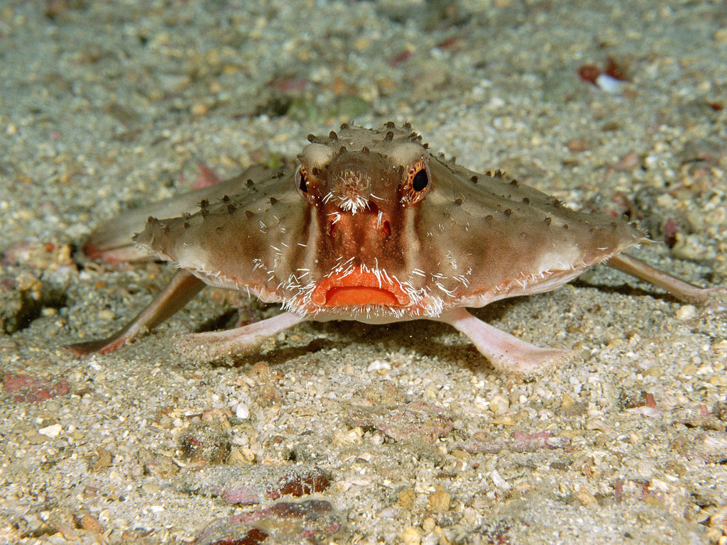 Red-lipped batfish underwater.