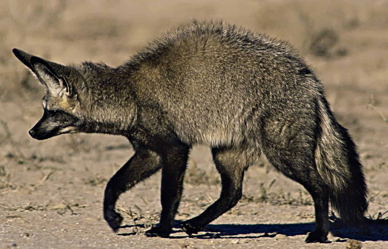 Bat-eared fox in the desert.
