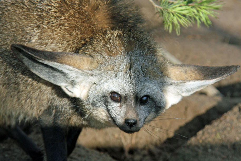 Bat-eared fox ears on the side.