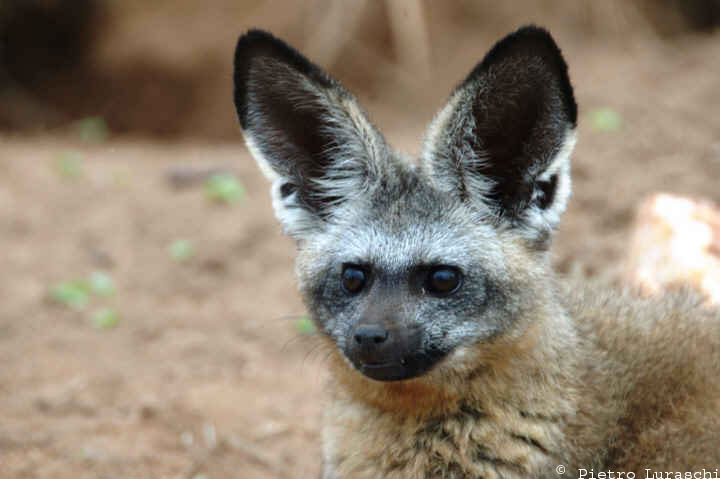 Bat-eared fox ears.