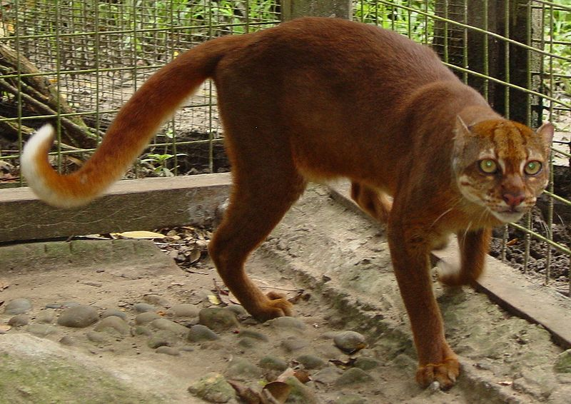 Borneo Bay Cat in captivity.
