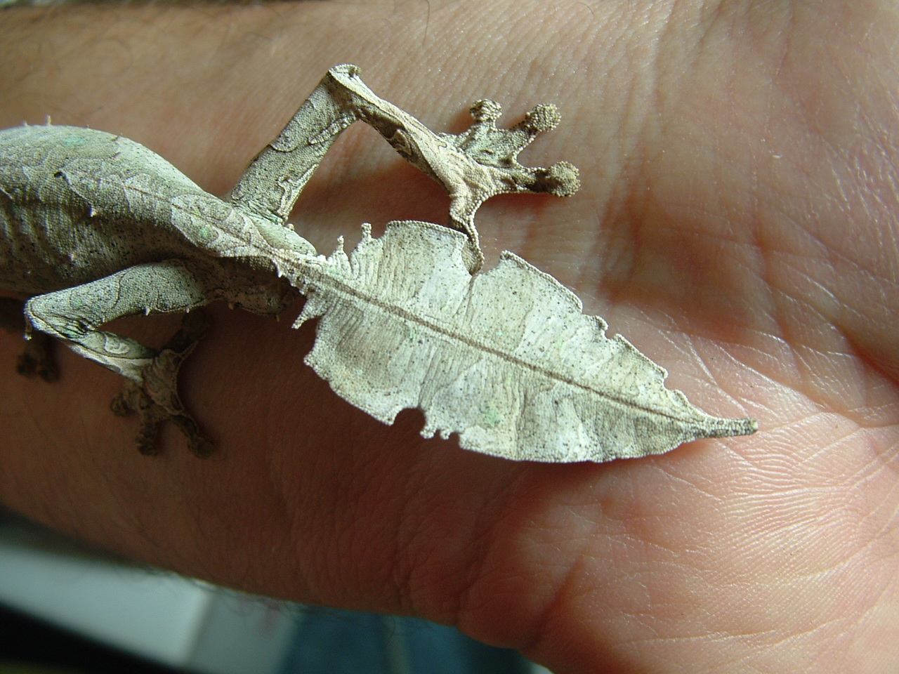 Leaf-tailed gecko tail.